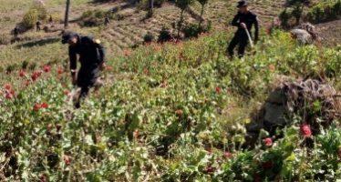 Destruyen más de 610 mil plantas de marihuana en Tequila, Jalisco