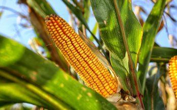 ¿Qué perderían México y el mundo con el maíz transgénico?