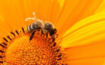 Las abejas se extinguirán en cuestión de años
