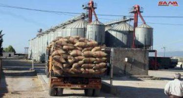 Agricultores de Idleb producen toneladas de trigo y cebada