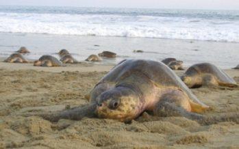 Inicia temporada de arribazón de tortuga golfina a Oaxaca