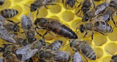 Las abejas reinas tienen memoria extraordinaria