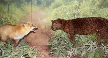 La pieza del mes de agosto, en el Museo de Historia Natural, presenta a dos audaces carnívoros que son los encargados de revivir la fábula de Esopo: El Zorro y la Pantera