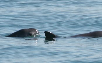 Autoridades mexicanas, listas para clonar la vaquita marina