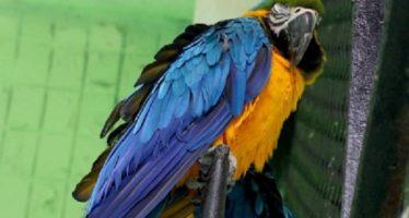 Extinción amenaza a ocho especies de aves, incluida el guacamayo azul
